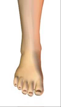 Foot dorsiflexion (4) By Extensor Digitorum Longus Muscle