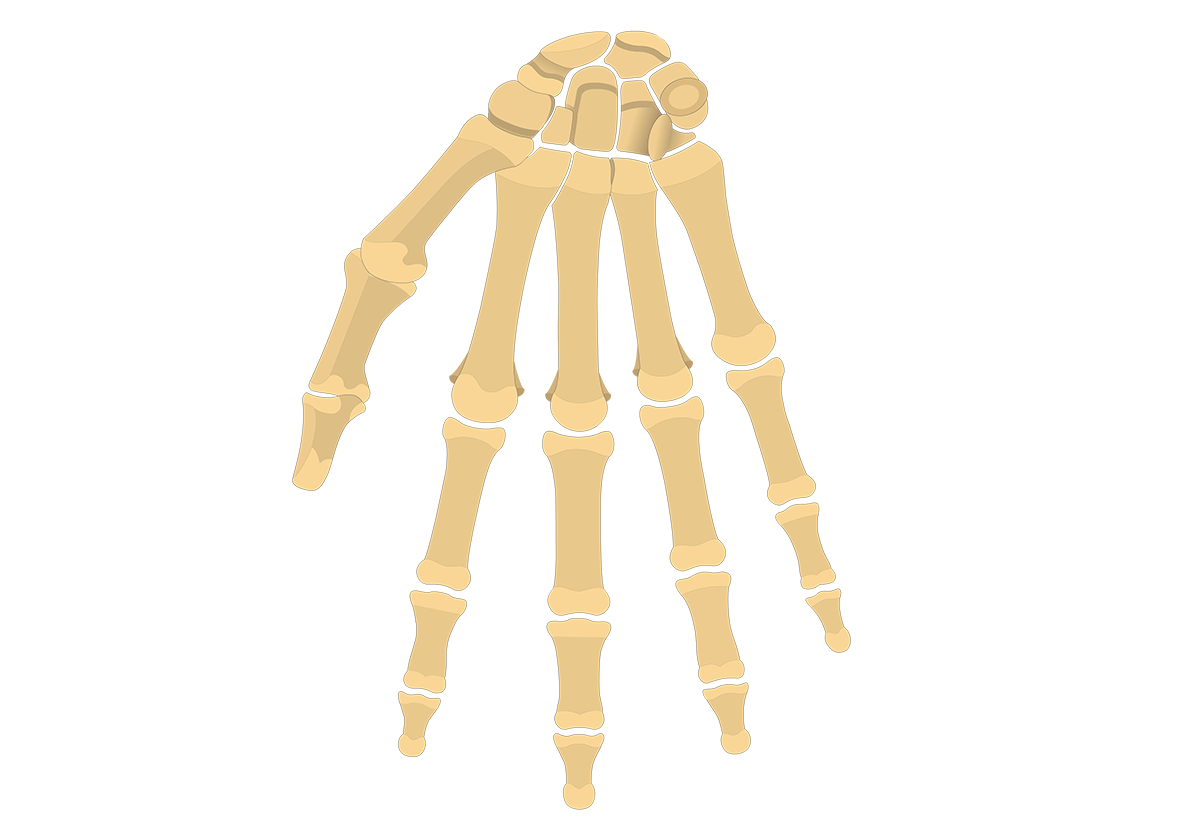 General Anatomy of the Hand and Wrist Bones