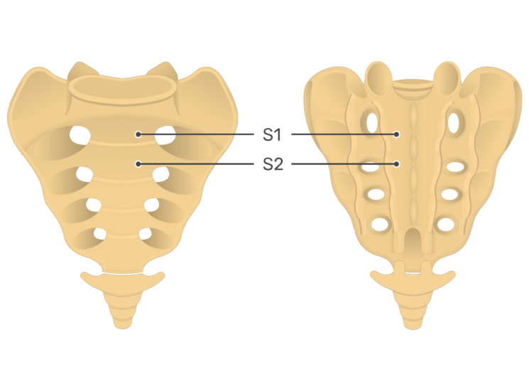 Anterior and posterior view of the second sacral vertebra