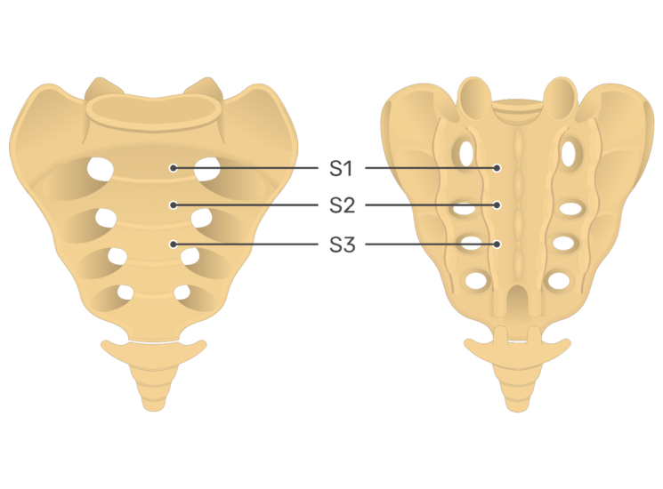 Anterior and posterior view of the third sacral vertebra