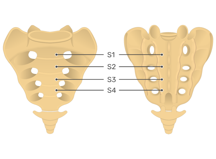 Anterior and posterio view of the fourth sacral vertebra