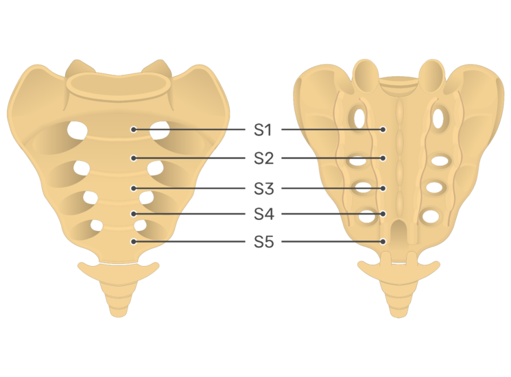 Anterior and posterior view of the fifth sacral vertebra