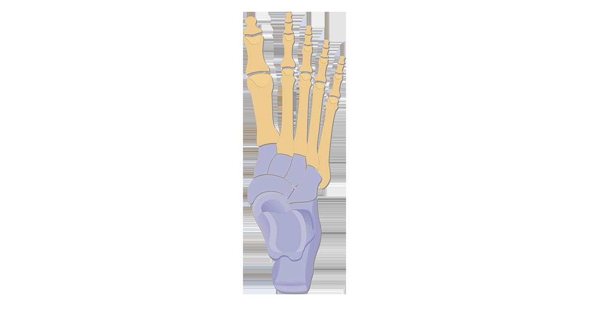 Tarsals | Tarsal Bones Anatomy