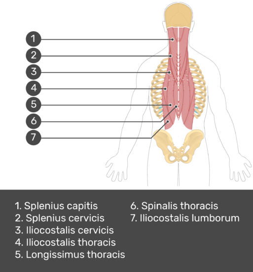 Test yourself image showing answer: spinalis capitis, spinalis cervicis, iliocostalis cervicis, iliocostalis thoracis, longissimus thoracis, spinalis thoracis, iliocostalis lumborum