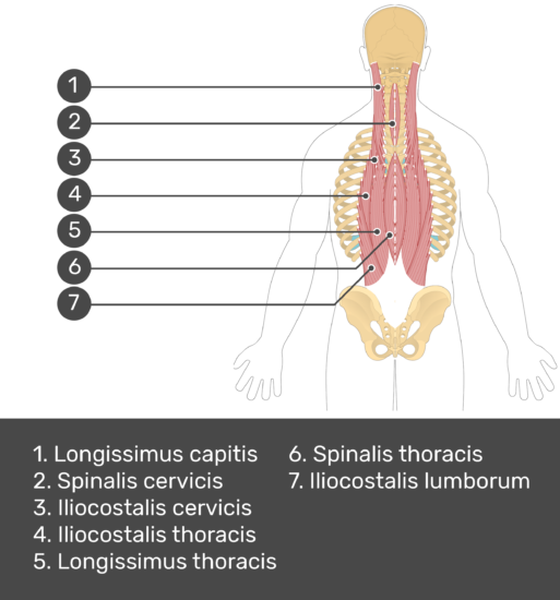 Test yourself image showing answers: longissimus thoracis, spinalis cervicis, iliocostalis cervicis, iliocostalis thoracis, longissimus thoracis, spinalis thoracis, iliocostalis thoracis.