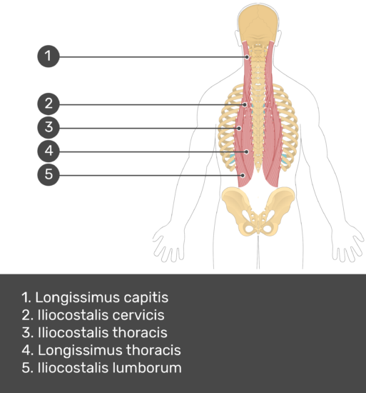 Test yourself showing answers: longissimus cervicis, iliocostalis cervicis, iliocostalis thoracis, longissimus thoracis, iliocostalis lumborum