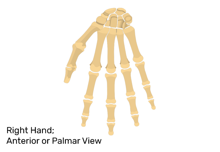 Anterior view of hand