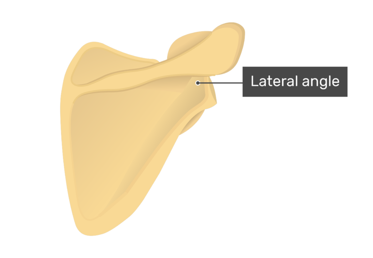 Posterior scapula with labeled lateral angle