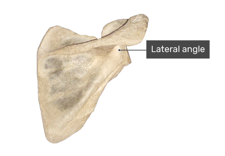 Posterior scapula bone with labeled lateral angle