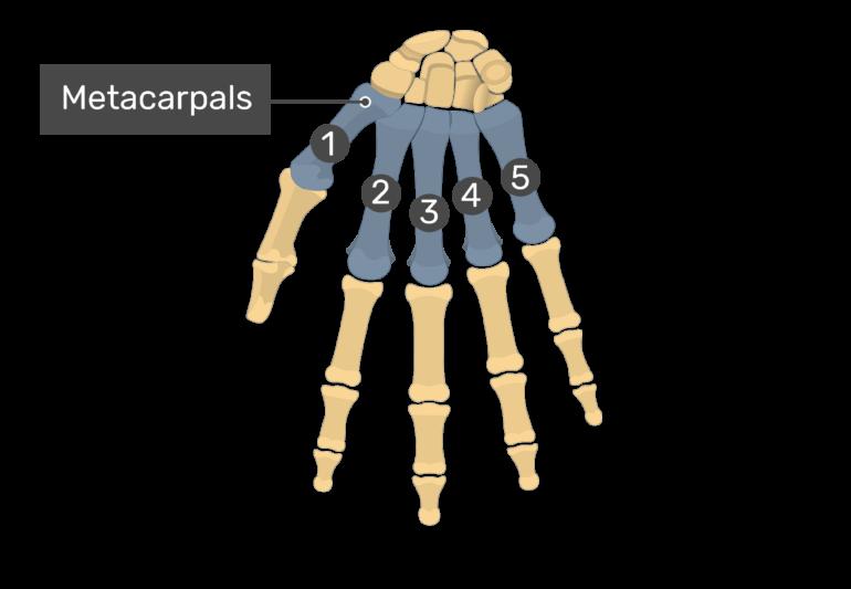 Metacarpals I - V