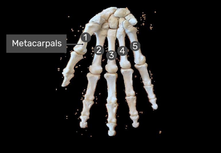 metacarpals bone