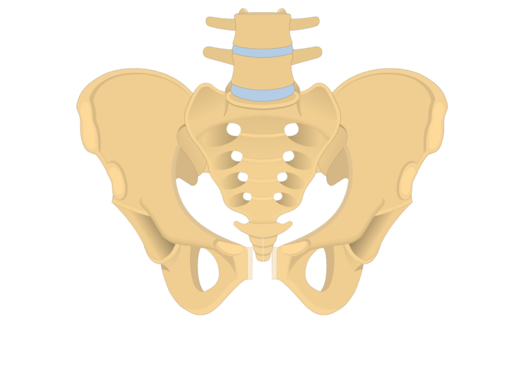 anterior and posterior view of the coccyx, sacrum, and two os coxae forming the bony pelvis - animation slide