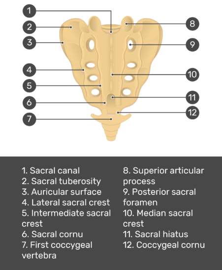 Test yourself image for the posterior view of the sacrum showing answers: Sacral canal, sacral tuberosity, auricular surface, lateral sacral crest, intermediate sacral crest, sacral cornu, first coccygeal vertebra, superior articular process, posterior sacral foramen, median sacral crest, sacral hiatus, and coccygeal vertebra