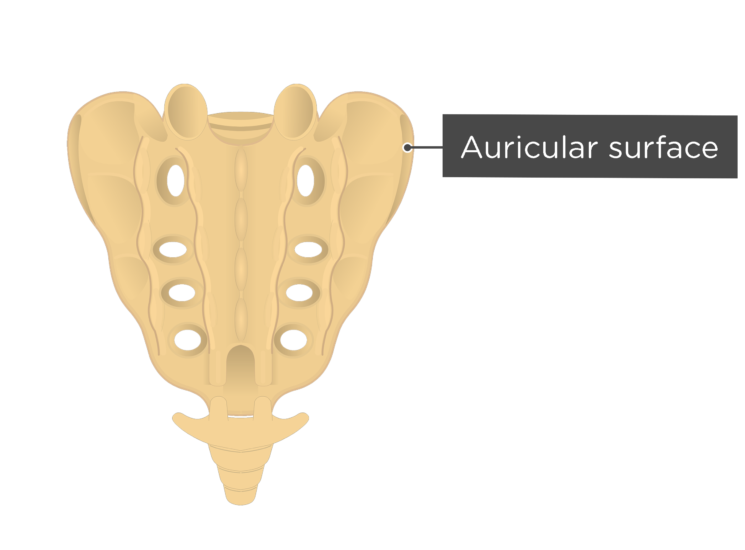 Posterior view of the auricular surface of the sacrum