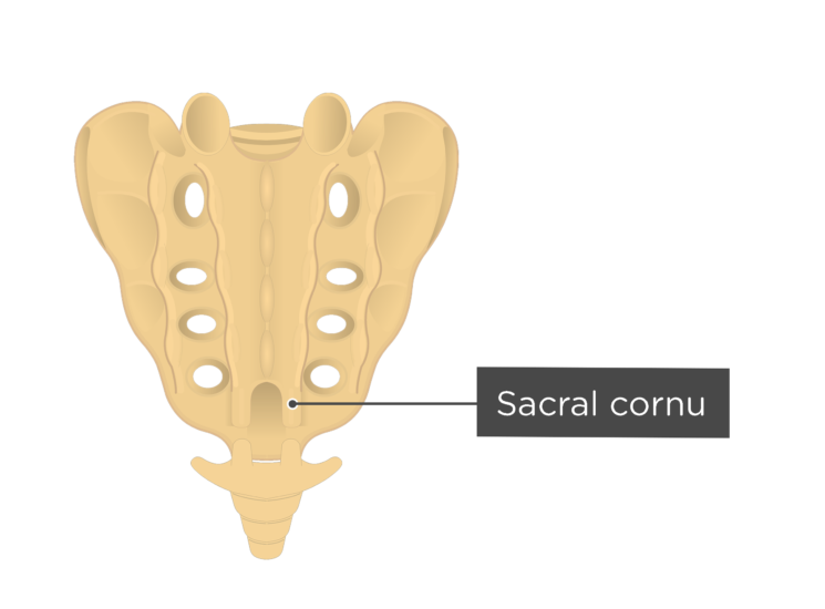 Posterior view of the sacral cornu of the sacrum