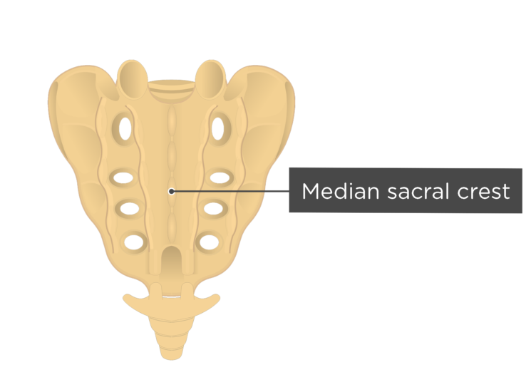 Posterior view of the median saral crest of the sacrum