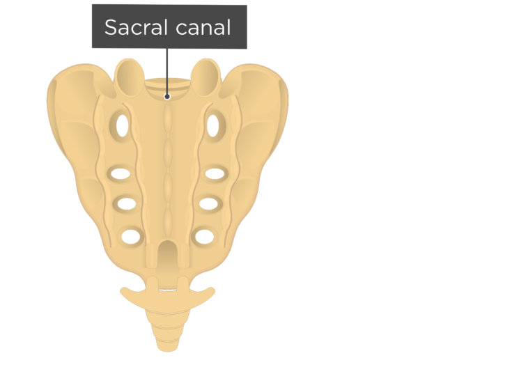 Posterior view of the sacral canal of the sacrum