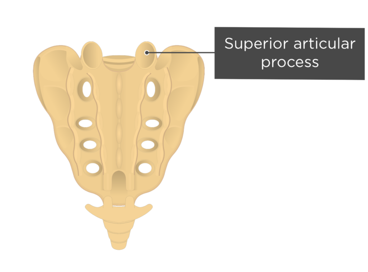 Posterior view of the superior articular process of the sacrum