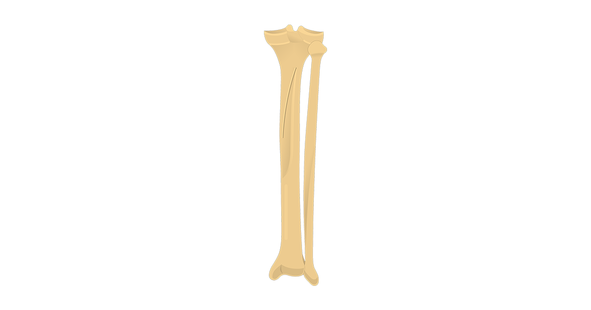Tibia And Fibula Quiz Posterior Markings