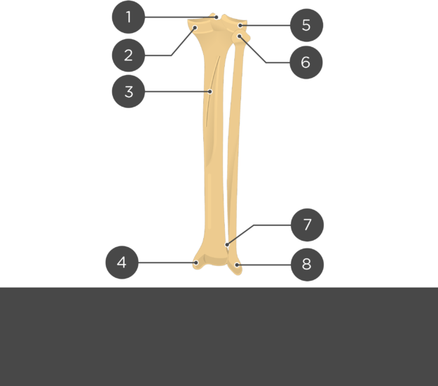 posterior tibia fibula - test yourself