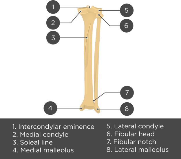 posterior tibia fibula - test yourself - answers