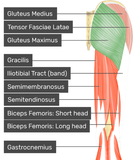 Posterior view of the thigh and gluteal region with gluteus maximus highlighted. Labelled muscles: gluteus medius, tensor fasciae latae, gluteus maximus, gracilis, iliotibial tract (band), semimembranosus, semitendinosus, biceps femoris: short head, biceps femoris: long head, gastrocnemius.