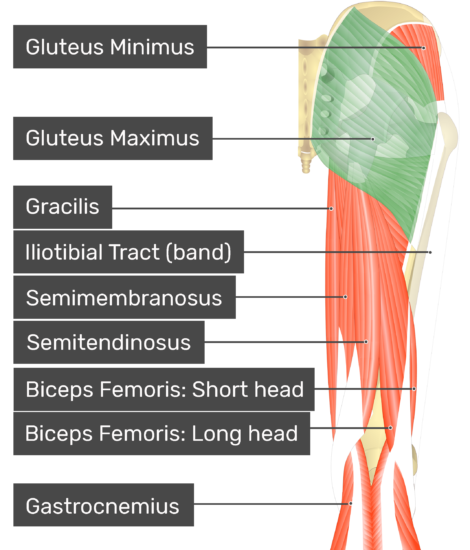 Posterior view of thigh and gluteal region. Showing gluteus maximus (highlighted) as well as the deeper gluteus minimus. Showing posterior muscles of the thigh: gracilis, iliotibial tract (band), semimembranosus, semitendinosus, biceps femoris: short head, biceps femoris: long head, gastrocnemius.