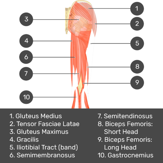 Test yourself image 4, posterior view of thigh and gluteal region, lateral rotators of the thigh removed so can see the hip bone. Muscles and structures labelled- gluteus medius, tensor fasciae latae, gluteus maximus, gracilis, iliotibial tract (band), semimembranosus, semitendinosus, biceps femoris: short head, biceps femoris: long head, gastrocnemius.