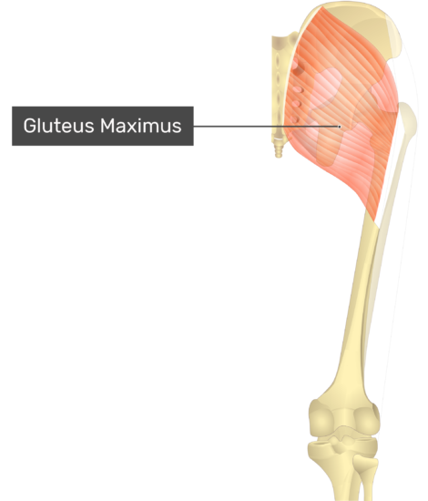 Posterior view of the gluteal region and thigh showing the gluteus maximus muscle.