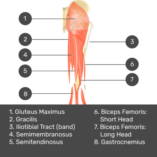 Test yourself image 7, posterior view of thigh and gluteal region, gluteus minimus removed. Muscles and structures labelled- gluteus maximus, gracilis, iliotibial tract (band), semimembranosus, semitendinosus, biceps femoris: short head, biceps femoris: long head, gastrocnemius.