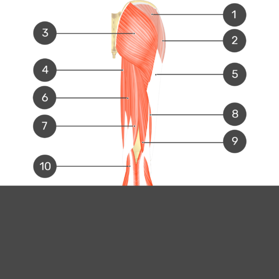 Test yourself image 1, posterior view of thigh and gluteal region showing all superficial muscles with no labels.