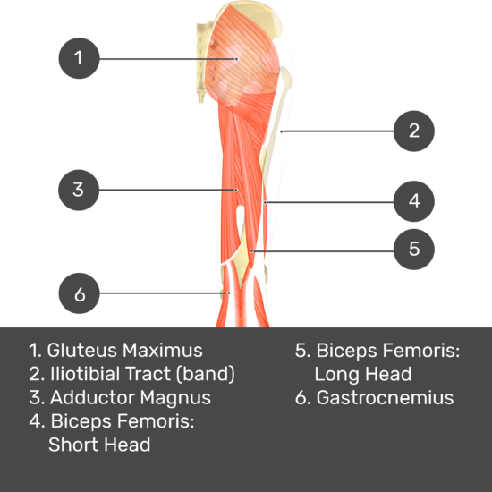 Test yourself image 10, posterior view of thigh and gluteal region, semitendinosus removed so can see adductor magnus. Muscles and structures labelled- gluteus maximus, iliotibial tract (band), adductor magnus, biceps femoris: short head, biceps femoris: long head, gastrocnemius.