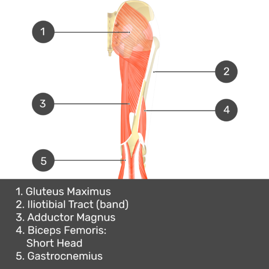 Test yourself image 11, posterior view of thigh and gluteal region, biceps femoris: long head removed. Muscles and structures labelled- gluteus maximus, iliotibial tract (band), adductor magnus, biceps femoris: short head, gastrocnemius.