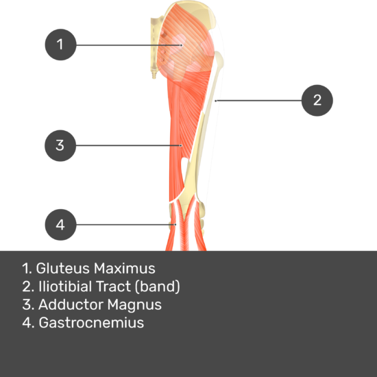 Test yourself image 12, posterior view of thigh and gluteal region, biceps femoris: short head removed. Muscles and structures labelled- gluteus maximus, iliotibial tract (band), adductor magnus, gastrocnemius.