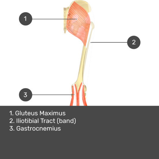 Test yourself image 13, posterior view of thigh and gluteal region, adductor magnus removed. Muscles and structures labelled- gluteus maximus, iliotibial tract (band), gastrocnemius.