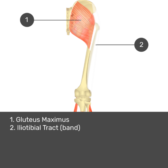 Test yourself image 14, posterior view of thigh and gluteal region, gastrocnemius removed. Muscles and structures labelled- gluteus maximus, iliotibial tract (band).