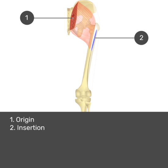Test yourself image 15, posterior view of thigh and gluteal region showing gluteus maximus and its origin and insertion labelled.