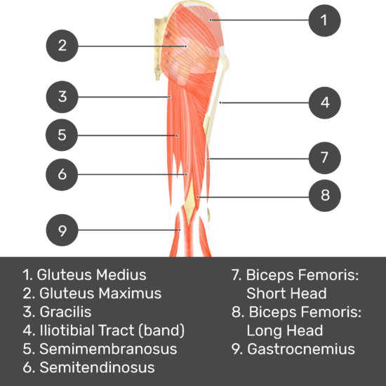 Test yourself image 5, posterior view of thigh and gluteal region, tensor fasciae latae removed so can see all of gluteus medius. Muscles and structures labelled- gluteus medius, gluteus maximus, gracilis, iliotibial tract (band), semimembranosus, semitendinosus, biceps femoris: short head, biceps femoris: long head, gastrocnemius.