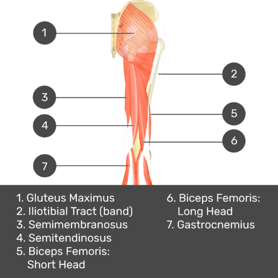 Test yourself image 8, posterior view of thigh and gluteal region, gracilis removed. Muscles and structures labelled- gluteus maximus, iliotibial tract (band), semimembranosus, semitendinosus, biceps femoris: short head, biceps femoris: long head, gastrocnemius.