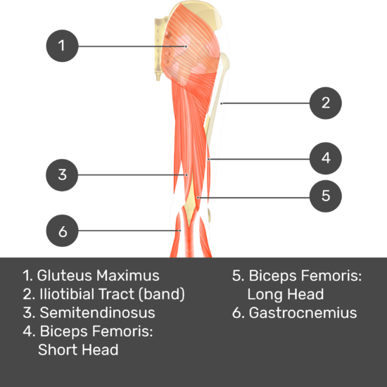 Test yourself image 9, posterior view of thigh and gluteal region, semimembranosus removed. Muscles and structures labelled- gluteus maximus, iliotibial tract (band), semitendinosus, biceps femoris: short head, biceps femoris: long head, gastrocnemius.