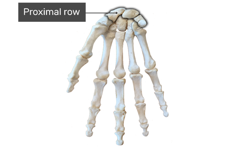 Hand And Wrist Bones Anterior Palmar View