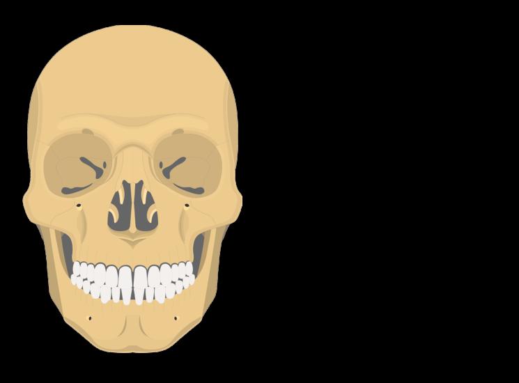 skull - anterior view