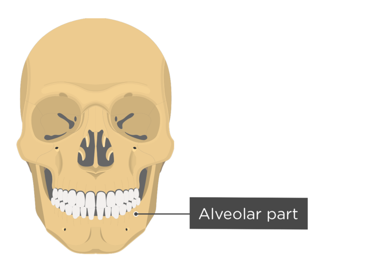skull - anterior view - alveolar part