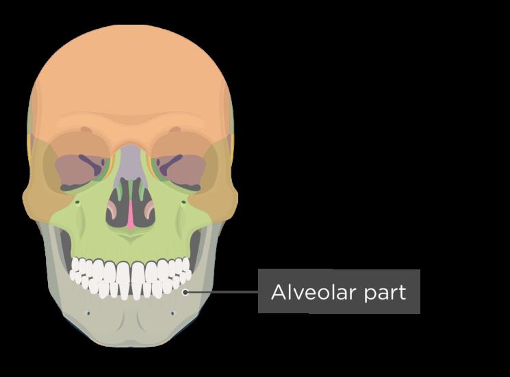 skull - anterior view - alveolar part - divisions
