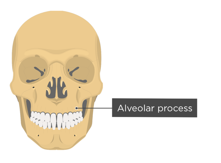 skull - anterior view - alveolar process