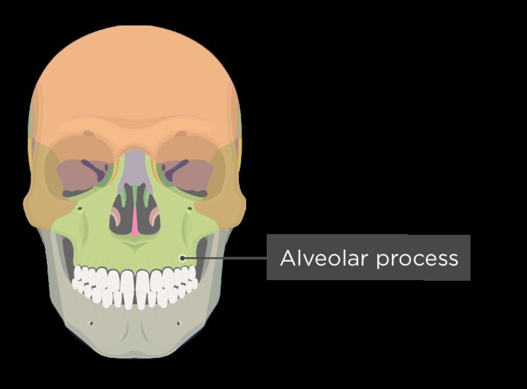 skull - anterior view - alveolar process - divisions