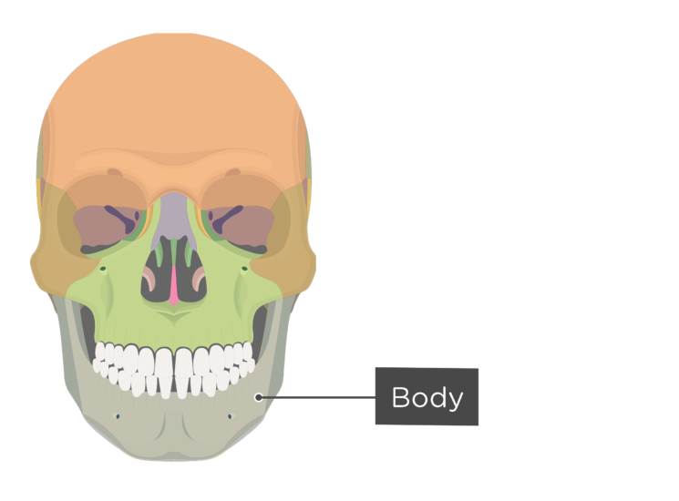 skull - anterior view - body of mandible - divisions