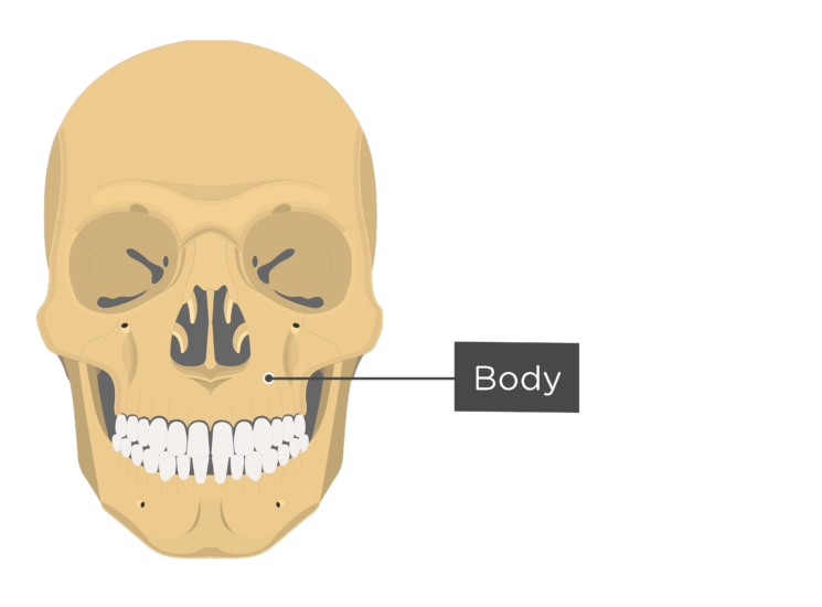 skull - anterior view - body of maxilla
