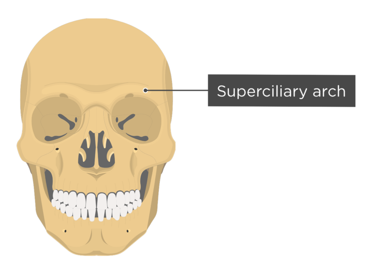 skull - anterior view - body of maxilla - superciliary arch