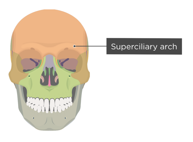 skull - anterior view - body of maxilla - superciliary arch - divisions
